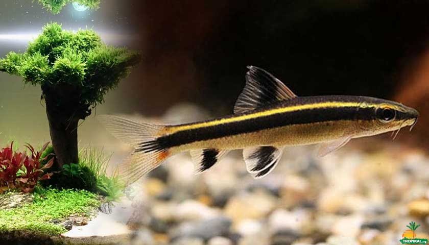 Epalzeorhynchus kalopterus (False SAE)