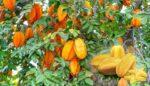 Yıldız meyvesi (Karambola)