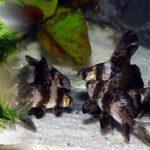 Myxocyprinus asiaticus (Çin Ejderi)