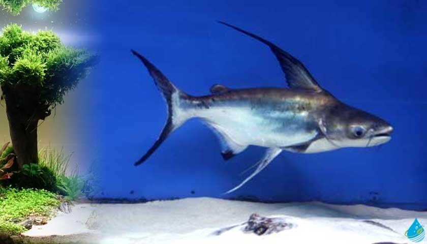 Pangasius pangasius (Köpekbalığı, Pangasus)