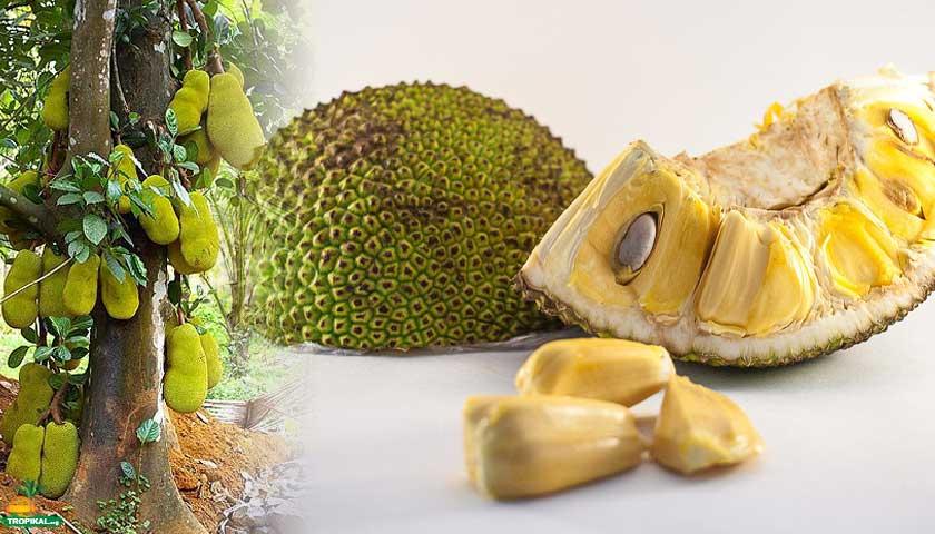 jackfruit, jak meyvesi