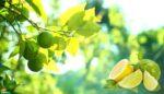 Misket Limonu (Lime)