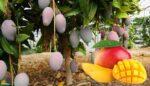 Mango yetiştirme