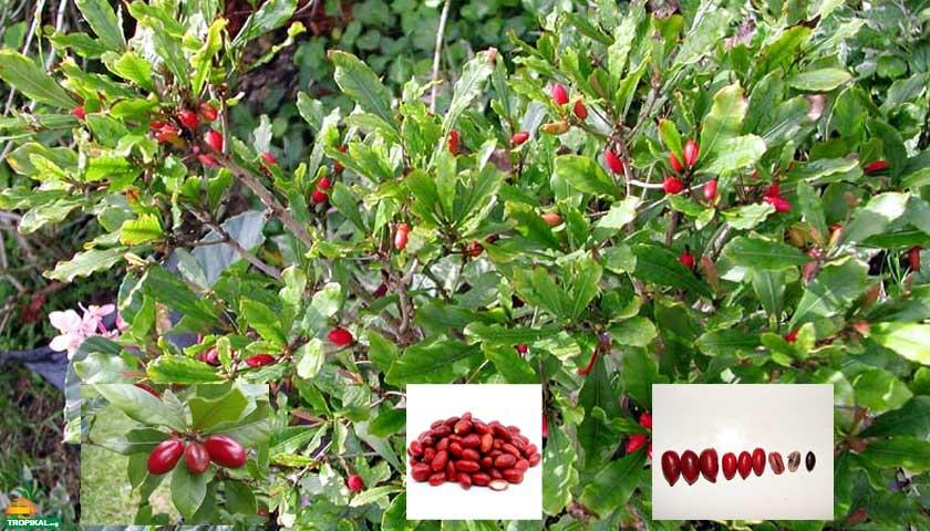 Mucize Meyve (Miracle Fruit)