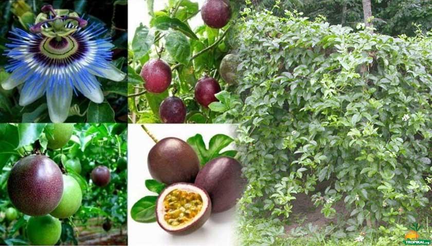 Çarkıfelek (Passiflora)