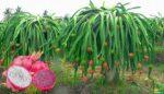 Ejder Meyvesi (Pitaya)