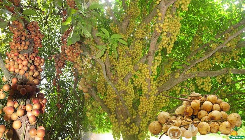 Rambai Ağacı, meyvesi