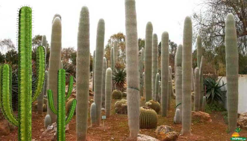 Uzun kaktüsler, Old Man Cactus
