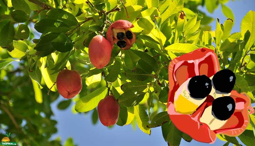 Ake Elması (Ackee)
